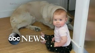 Download Toddler's late night escape accompanied by Golden Retrievers Video