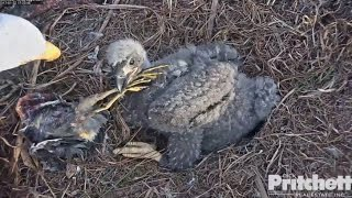 Download SWFL Eagles ~ Harriet Brings Small Heron to the Nest 1.22.17 Video