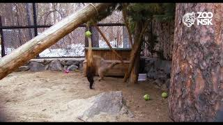 Download Манул радуется весне! Новосибирский Зоопарк имени Р.А. Шило Video