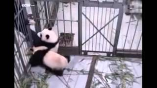 Download Cute Panda Cub Hugs Zookeeper's leg UBkmA6rZcYM Video