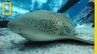 Download Endangered Shark Gives Rare ″Virgin Birth″ | National Geographic Video