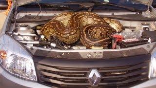 Download Huge Python in Car's Bonnet Video
