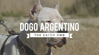 Download HUNTING WITH DOGO ARGENTINO Video
