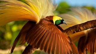 Download Greater Bird-of-Paradise Video