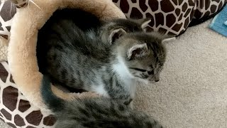 Download Kitten Close Up 2018-03-02 Video