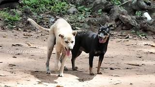 Download Countryside Dogs in Summer-Village Dogs Playing After Harvest Rice fields Video