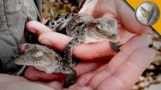 Download A Nest FULL of Baby Crocodiles! Video