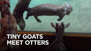 Download Tiny Goats Visit River Otters Video