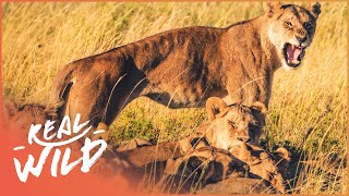 Download Lions Of Etosha [Lion Pride Survival Documentary] | Wild Things Video