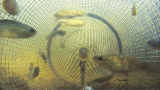 Download Catching Fish from Inside a Minnow Trap POV 2 Video
