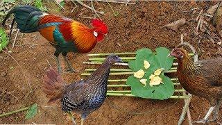 Download The Forrest Chicken Trap    Wild chicken trap    Best way to catch wild chicken Video