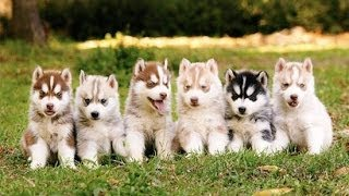 Download Siberian Husky Puppies Playing,Barking And Sleeping Video