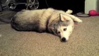 Download Malamute Husky throws a tantrum Video