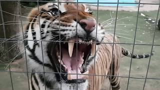 Download Earphone users ,hear the sound of this tiger! Video