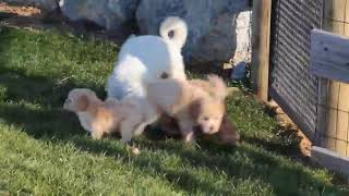 Download Bich Poo Puppies For Sale Levi Jr and Priscilla Stoltzfus Video