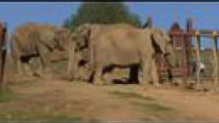 Download Maggie Joins her Group of African Elephants! Video