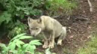 Download Young wolf explores his surroundings Junger Wolf auf Erkundungstour Video