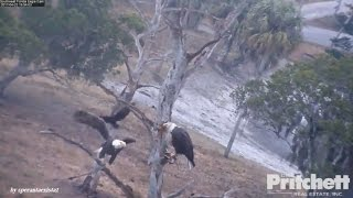 Download SWFL Eagles - Harriet Came To Rescue M15 From Nasty Crows Attack! 4.22.17 Video