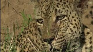 Download Wild Africa Mvula the Legend Leopard of Djuma 4 jan 2018 Video