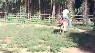Download burro mineiro pulador Video