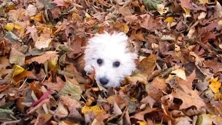 Download Puppies Playing in Leaves Compilation Video