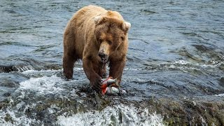 Download Brown bears feed at Brooks Falls in Katmai National Park and Preserve Video