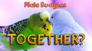 Download Can Male Budgerigars live together? Video