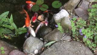 Download The Secret(s) to Keep Your Pond Crystal Clear | The Barefooted Gardener Video