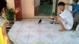 Download Chim sáo bay vào nhà nói chuyện với chủ nhà Video