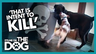 Download Newly Adopted Labrador is Attacked Every Day | It's Me or the Dog Video
