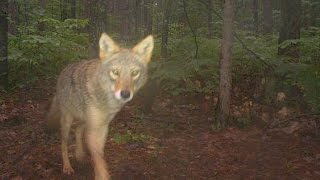 Download Largest-Ever Camera-Trap Research of Michigan Wildlife Video