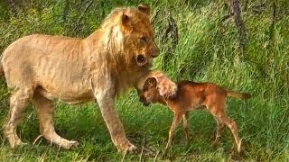 Download Lion saves a baby calf from another lion attack Video