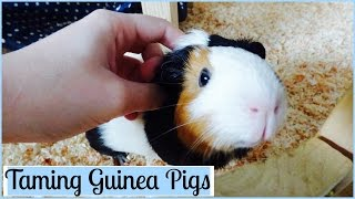 Download How to Tame Your Guinea Pigs | 7 Tips Video