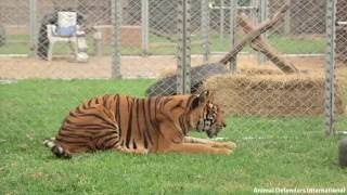 Download Freedom for Hoover the tiger after life spent in circus cage Video