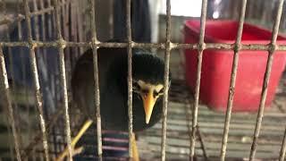 Download Chuyện Lạ Việt Nam: Chim Sáo Biết Dạ Thưa Khi Gọi Tên, Biết Khóc Cười Như Trẻ Con Video