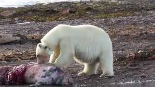 Download Polar Bear Female feasting on a carcass - Svalbard cruise Video