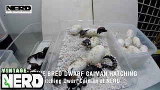 Download Captive bred Dwarf Caiman Hatching - Hatching Dwarf Caiman at NERD Video