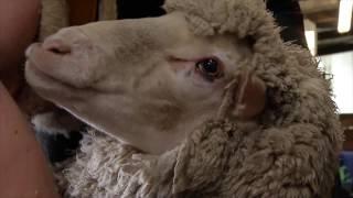 Download Heiniger und die australischen Schafe: Schweizer Schermaschinen sind weltweit führend Video