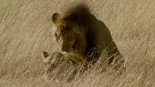 Download Brutal Lion Infanticide and Mating | Battle of the Sexes In The Animal World | BBC Earth Video