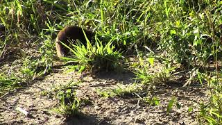Download Group of Dwarf Mongoose tending to the 'business' of their morning Video