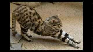 Download The Black-footed Cat: Africa's Smallest Wild Cat Video