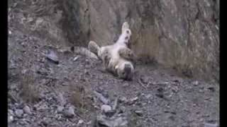 Download Snow Leopard-1st Kill After Being Tagged Video