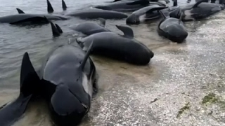 Download New Zealanders Race to Save 400 Stranded Whales Video