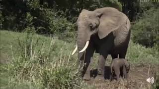 Download Safari Live Face Book Live : A new born Elephant tries to stand for the first time Oct 17, 2017 Video