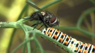 Download Tachinidae : Buquetia musca - Attack 5, Callas, 7 August 2013 Video