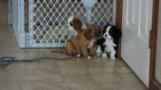 Download Cavalier King Charles Spaniel Puppies For Sale Abram Beiler Video