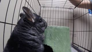 Download Chinchilla In For An Injured Leg Workup To Find That A Splint Is Not In Its Future Video