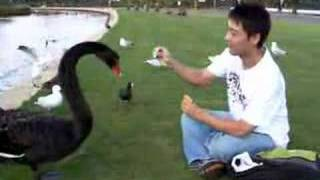 Download Woon Feeding Black Swans Video