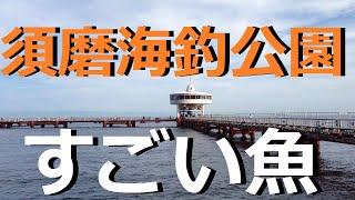 Download 須磨海づり公園の水中映像 すごい魚 Video