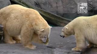 Download Polar Bears Introduced - Cincinnati Zoo Video